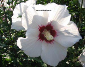 خواص درمانی گل ختمی