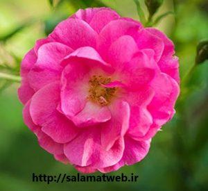 گلاب و محافظت از دندان ها