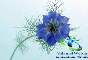 کاسنی گیاه مفیدی برای درمان کبد چرب