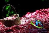 کاشان ،میعادگاه عاشقان گل و گلاب ایرانی