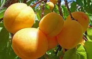 زردآلو در طب سنتی چه خواصی دارد؟