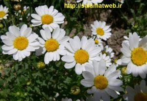 گل بابونه تقویت کننده ناخن ها
