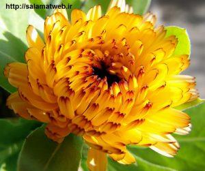 گل همیشه بهار و زیبایی پوست
