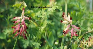 شاهتره برای درمان آلرژی های فصلی