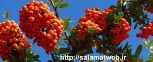 زالزالک میوه آرامش بخش