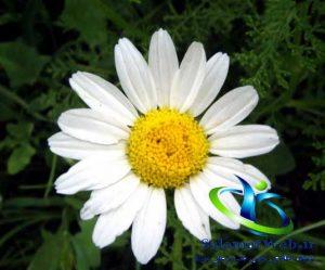 گیاهان دارویی مفید برای رفع استرس