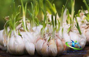 قیمت روز بذر سیر