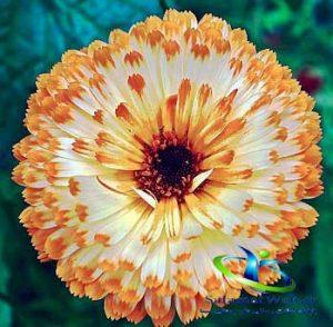 نام دیگر گل همیشه بهار