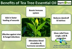 تهیه روغن درخت چای