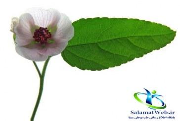 گیاه مارشمالو چیست؟+خواص درمانی مارشمالو در طب سنتی
