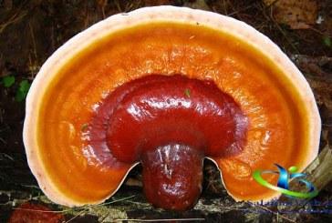 قارچ گانودرما چیست؟+خواص درمانی قارچ گانودرما