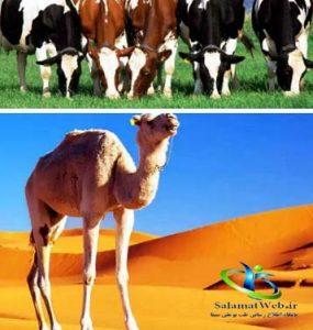 تفاوت شر شتر با شیر گاو
