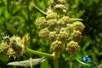 گیاه افسنتین چیست؟+خواص دارویی گیاه افسنتین