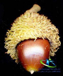 خواص میوه شاه بلوط