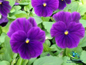 عکس گل بنفشه کوهی