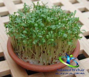کاشت سبزی شاهی