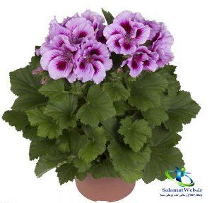 خواص گل مغربی در طب سنتی