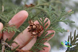طبیعت گیاه سدر