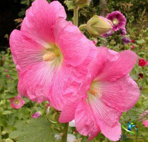 خواص درمانی گیاه دارویی گل ختمی