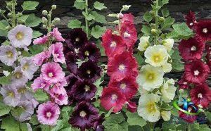 گل ختمی برای سرماخوردگی