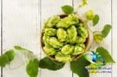 گیاه رازک چیست؟+فواید و مضرات مصرف گیاه رازک در طب سنتی