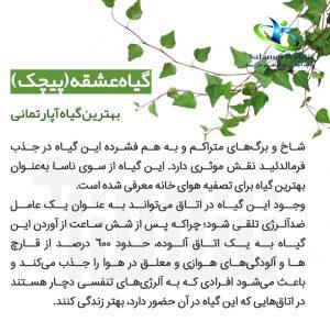 خواص درمانی گیاه پیچک