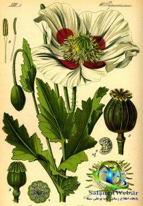 انواع گیاه خشخاش