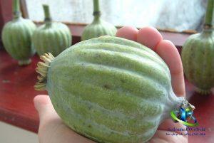 خواص درمانی گیاه خشخاش