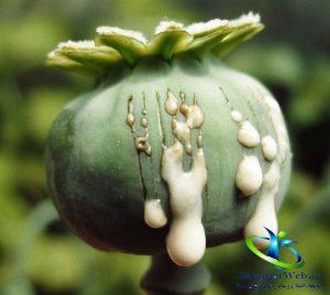طبع گیاه خشخاش