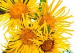 گیاه راسن واکسن تمام بیماری ها+فواید و عوارض استفاده از راسن