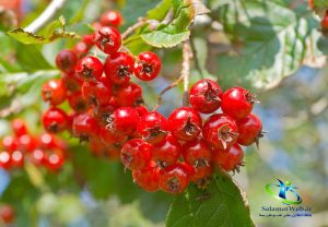 خواص دمنوش گیاه سرخ ولیک