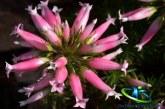 گیاه خلنگ و معجزه آن در درمان بیماری ها
