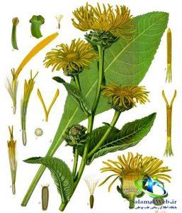 خواص درمانی گیاه راسن