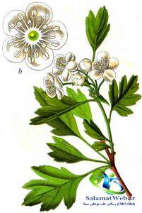 عکس گیاه سرخ مرز