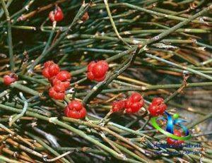 نام های دیگر گیاه ریش بز