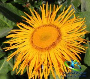 عکس گیاه راسن