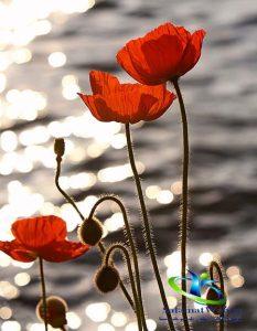 خواص گل شقایق در طب سنتی