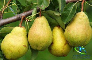 طبع میوه گلابی