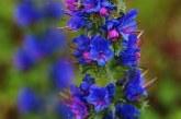گل گاوزبان و فواید فراوان آن در طب سنتی