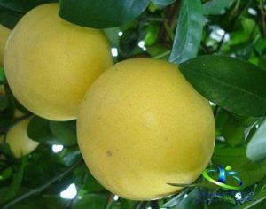 گیاهشناسی لیموشیرین