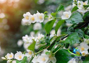 خواص چی سبز و گل یاسمن