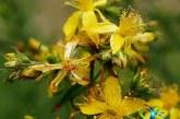 گیاه علف چای و خواص درمانی آن+طریقه مصرف علف چای
