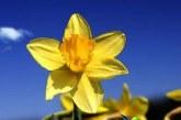گل نرگس و دمنوش آن چه خاصیتی دارند؟+مضرات گل نرگس