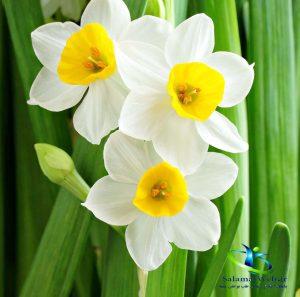 خواص بوییدن گل نرگس