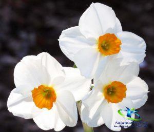 دمنوش گل نرگس