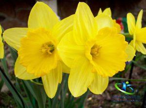 قطره گل نرگس