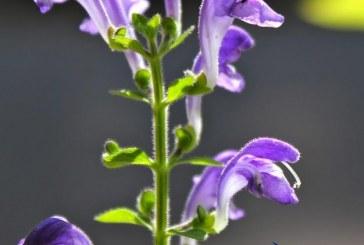 فرنجمشک گیاهی ارگانیک برای سلامتی