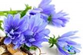 گیاه کاسنی چیست و چه خواصی دارد؟+آیا کاسنی دارای هورمون مردانه است ؟