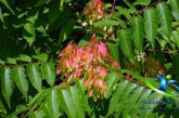 درخت عرعر و خواص درمانی آن را بیشتر بشناسید