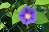 گل نیلوفر و انواع آن+ خواص درمانی و مضرات نیلوفر
